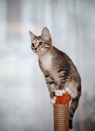 Gestreifte inländische aktive Katze mit weißen Tatzen.