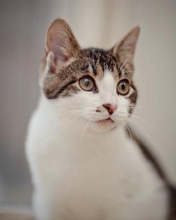 Portrait der Hauskatze einer weißen Farbe mit gestreiften Stellen