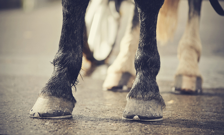 Horse-drawn transport. Legs of the horse harnessed in the carriage. Standard-Bild