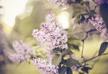 The blossoming lilac branches in the spring.