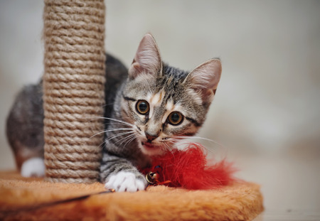 Young striped domestic cat plays with a red toy.