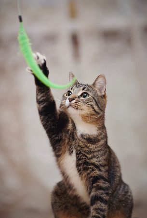 Striped domestic cat plays with a green toy. Standard-Bild