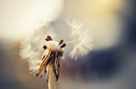 Autumn fluffy white flower of a dandelion. Dandelion seeds.