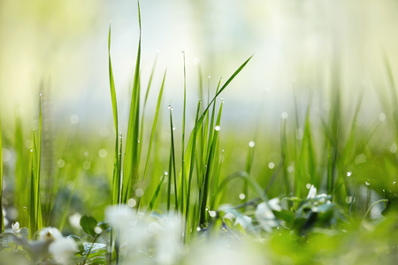 Fresh green grass with dew. Grass background.