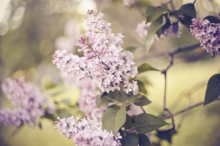 Branches of bushes of a lilac with lilac flowers in the spring