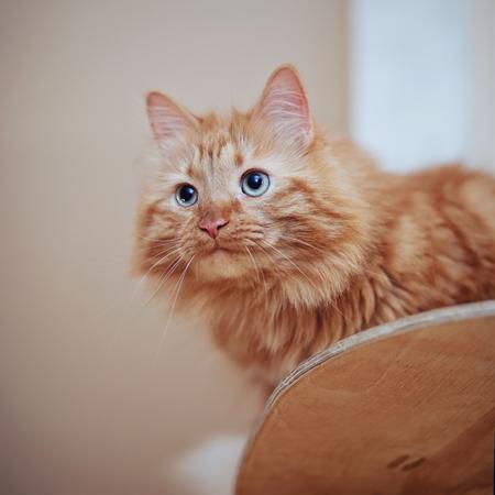 Portrait of a fluffy striped domestic cat, red color Standard-Bild