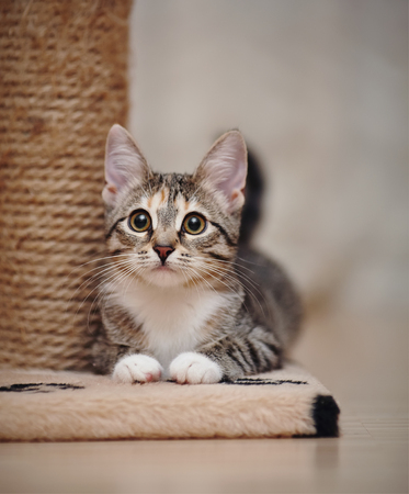 The young striped domestic cat with brown eyes and with white paws