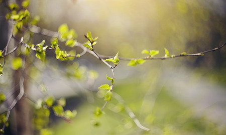 Background with green birch branches in the spring.