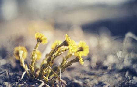 Yellow flowers coltsfoot (tussilago farfara) in the spring Standard-Bild