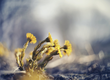 Spring primrose - yellow flowers of coltsfoot (tussilago farfara)