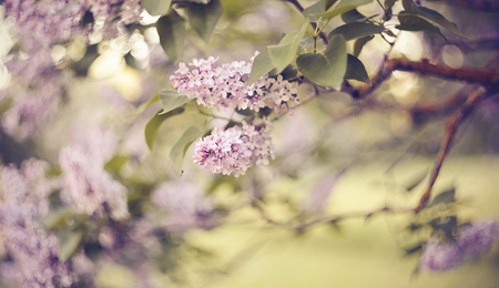 Branches with flowers on bushes of the blossoming lilac in the spring. Standard-Bild