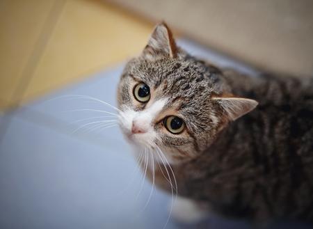 Portrait der gestreiften Katze fotografierte von oben genanntem auf einem Fußboden.