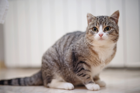 Gray striped domestic cat with white paws, sits. Standard-Bild