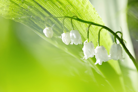 Forest flowers - white lilies of the valley in dew, lit with the sun.