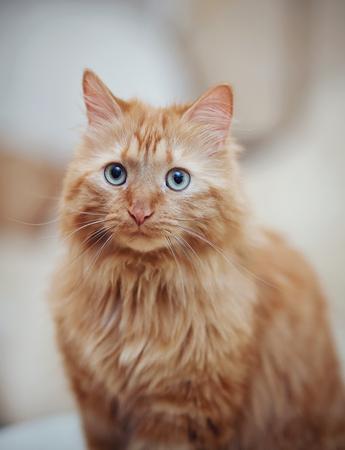 Porträt einer flauschigen gestreiften Hauskatze, rote Farbe Standard-Bild