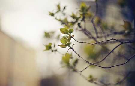 Background with green escapes on lilac bush branches in the spring. Standard-Bild