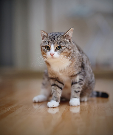 Gray striped angry domestic cat with white paws, sits.