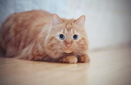 The striped red domestic cat lies on a floor. Standard-Bild