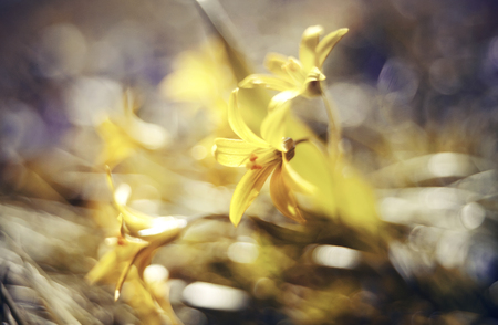 Abstract defocused background with spring flower Gagea lutea or Yellow Star-of-Bethlehem