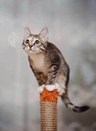 Striped domestic active cat with white paws.