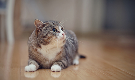 Gray striped angry domestic cat with white paws, lies on a floor.