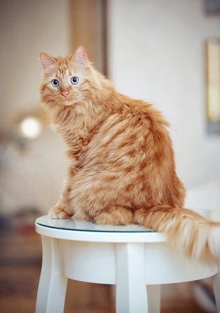 The striped red domestic cat sits on the table.