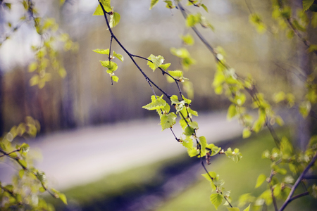 The appearing leaves on birch branches in the spring. Standard-Bild