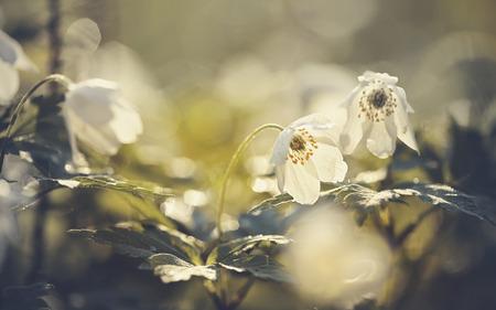 White spring flowers wild anemone illuminated by the sun.