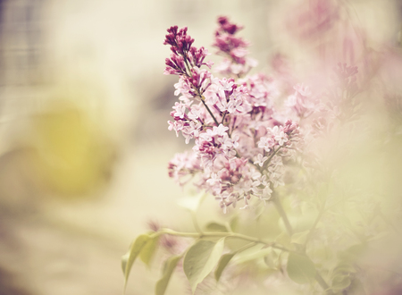 Background with branches of the blossoming lilac in the spring. Standard-Bild