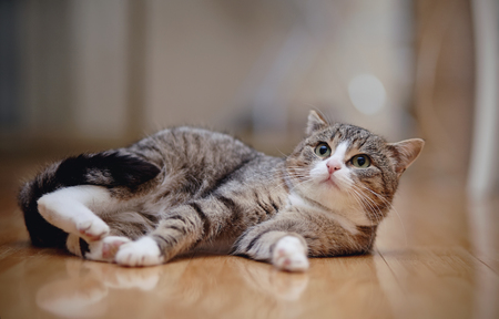 The gray striped domestic cat with white paws, lies on a floor.