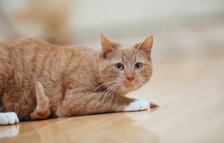 The striped frightened red domestic cat lies on a floor.