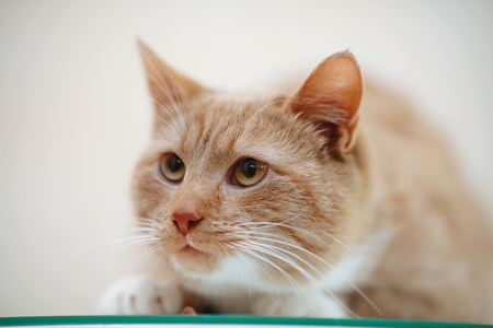Portrait of a striped domestic cat, it is red - a white color