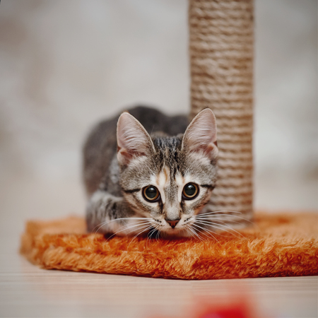 The young striped domestic cat with brown eyes Stock Photo