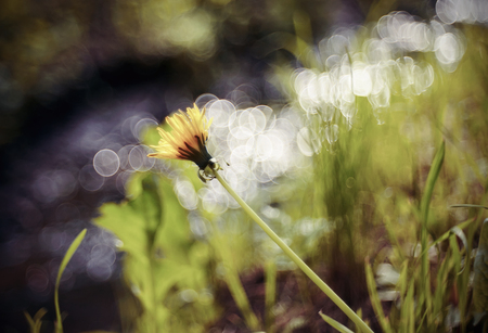 Blurry landscape with wild yellow flower of dandelion against the background of a stream. Stock Photo