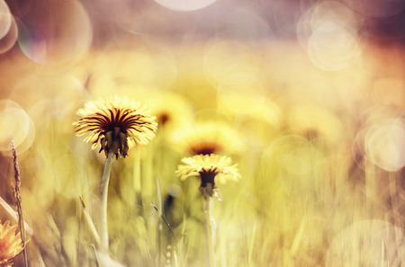 Abstract summer background with yellow flowers - dandelions. Stock Photo