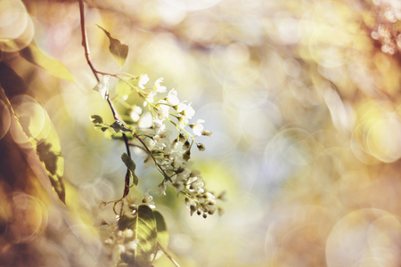 Abstract background with branch of the blossoming bird cherry in the spring.