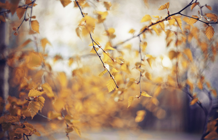 Autumn background with birch branches with yellow leaves. Golden autumn.