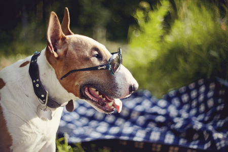 Portrait of a red English bull terrier in sunglasses outdoors.