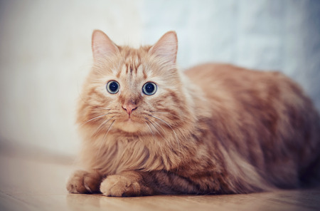 Portrait of a fluffy striped domestic cat, red color Stock Photo