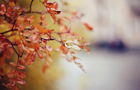 Autumn background with branches with red leaves.