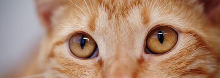 Orange eyes of a red domestic striped cat.