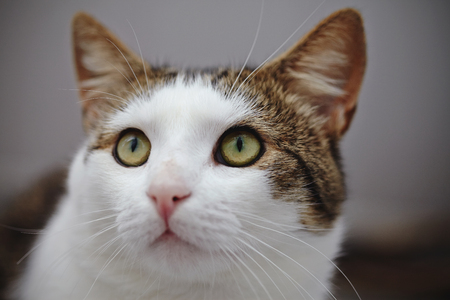 Muzzle of a  white and striped domestic cat with a bow