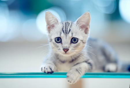 Retrato de un gatito doméstico rayado gris