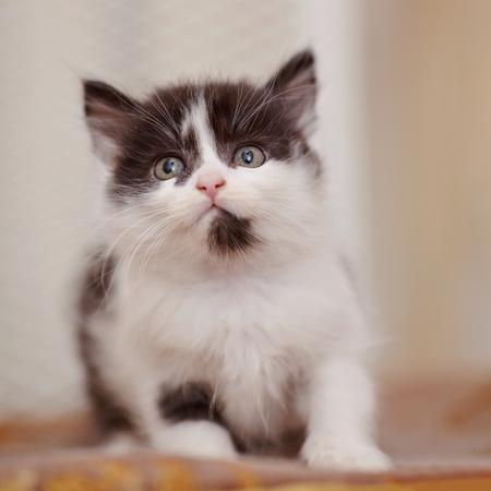 Petit chaton domestique d'une couleur, blanc avec des taches noires Banque d'images