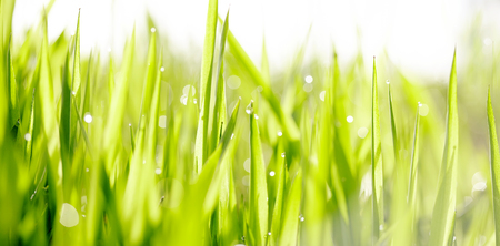 Background with green wet grass with dew drops