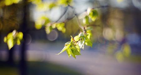 Rami primaverili di un tiglio con foglie verdi giovani.