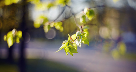 Spring branches of a linden with young green leaves. Stock Photo