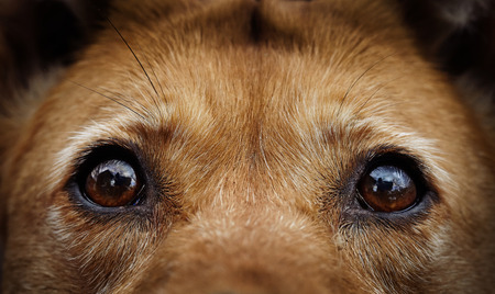 Sad eyes of a stray dog of a red color.
