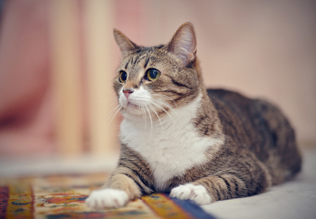 Portrait of the striped domestic cat lying on a carpet. 版權商用圖片 - 122330735