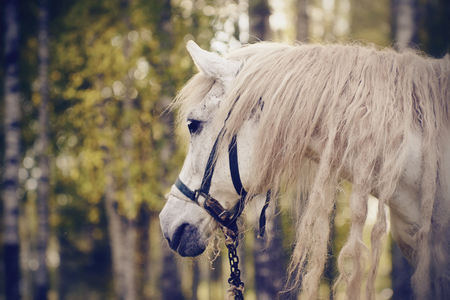 Portrait of a white horse with a long mane in an old halter.